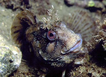 Blennius gattoruggine